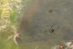 Several common pond skater on the water surface Gerris lacustris. It is held by the force of the water tension. Gerridae stock photo