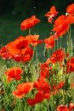 Common poppies Royalty Free Stock Photo
