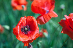 Free Common Poppy Royalty Free Stock Images - 41789129
