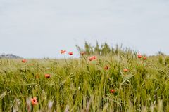 Common poppy fields in the north of Spain royalty free stock photography