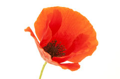 Common Poppy flower Stock Image