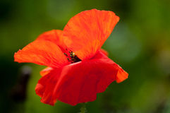 Common poppy flower. Ing on an arable field marging Royalty Free Stock Photos