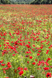 Common poppy flowers, Papaver rhoeas Stock Image