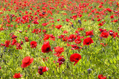 Common poppy flowers, Papaver rhoeas Royalty Free Stock Image