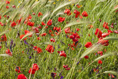 Common poppy flowers, Papaver rhoeas Royalty Free Stock Photos