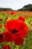 Common poppy flowers, Papaver rhoeas Royalty Free Stock Photo