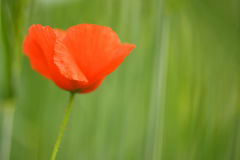 Common poppy (Papaver rhoeas) Royalty Free Stock Photos