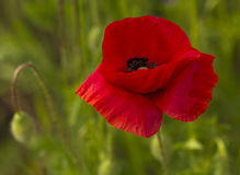 Common Poppy - Papaver rhoeas royalty free stock photography