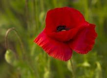 Common Poppy - Papaver rhoeas Royalty Free Stock Photography