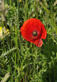 Common Poppy Stock Image