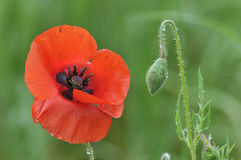 Common Poppy Royalty Free Stock Images