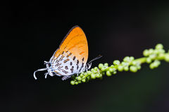 Common Posy butterfly. Close up of Common Posy (Drupadia ravindra) butterfly feeding in nature Stock Image