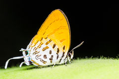 Common posy butterfly. Is sucking food Royalty Free Stock Photos