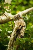 Common Potoo, Nyctibius griseus, on dead branch in tree, Trinidad, tropical forest, camouflaged bird with big yellow eyes. Green foliage in background, exotic stock photos