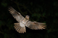 Common Potoo, Nyctibius griseus, nocturnal tropic bird in flight with open wings, night action scene, animal in the dark nature ha Stock Images