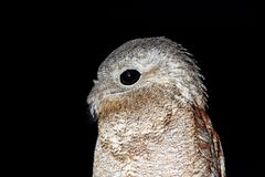 Common Potoo, Nyctibius griseus, nocturnal tropic bird sitting on the tree branch, night action scene, animal in the dark nature h. Abitat, Pantanal, Brazil royalty free stock photo