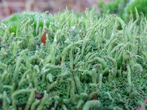 Common powderhorn closeup agains blurred background. Common powderhorn closeup high lighting the strange feature of the moss stock photography