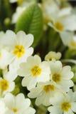 Common primroses in bloom Stock Photo