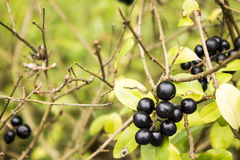 Common privet fruit Royalty Free Stock Images