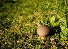 Common puffball  Royalty Free Stock Photos