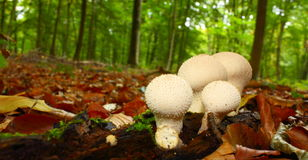 Common puffball. (Lycoperdon perlatum) in forest,Aisne,Picardy region of France Royalty Free Stock Images