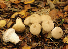 Common Puffball fungi (Lycoperdum perlatum) Stock Photos