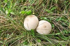 Free Common Puffball Mushroom Stock Image - 53587961