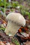 Common puffball mushroom Royalty Free Stock Images