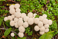 Common Puffball mushrooms Lycoperdon perlatum Stock Photography