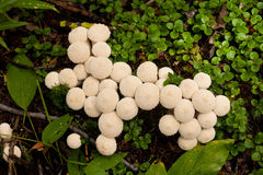 Common Puffball mushrooms Lycoperdon perlatum Royalty Free Stock Photo