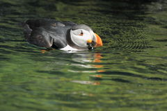 Common puffin Royalty Free Stock Photos
