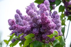 Common purple lilac flowers close up in spring time.  stock photos
