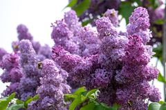 Common purple lilac flowers close up in spring time.  stock images