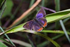 Common purple sapphire butterfly Stock Photo