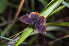 Common purple sapphire butterfly Stock Images