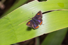 Common purple sapphire butterfly Royalty Free Stock Photos