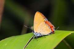 Common purple sapphire butterfly Stock Photography