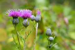 Purple thistle flower in bloom. Common purple thistle wildflower in bloom and buds with blurred  green background Stock Photography