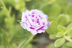 Common Purslane flower Stock Photos