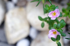 Common Purslane flower. And blurred stone background for copy space Stock Photos