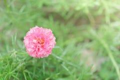 Common purslane flower in garden. Royalty Free Stock Image