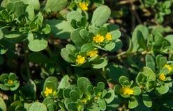 Verdolaga or pigweed. Common purslane Portulaca oleracea also known as verdolaga or pigweed Royalty Free Stock Images