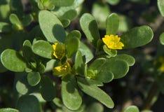 Verdolaga or pigweed. Common purslane Portulaca oleracea also known as verdolaga or pigweed Stock Image