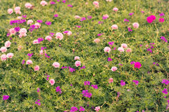 Common Purslane, Portulaca, Rosemoss Stock Photography