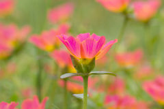 Common Purslane. Small flower garden in beautiful bright colors Stock Photo