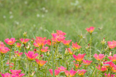Common Purslane. Small flower garden in beautiful bright colors Stock Image