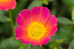 Common Purslane. Small flower garden in beautiful bright colors Stock Photography