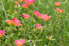 Common Purslane. Small flower garden in beautiful bright colors Royalty Free Stock Images