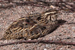 Common quail. The common quail sitting on the soil Stock Photography