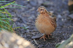 Common quail Stock Photo